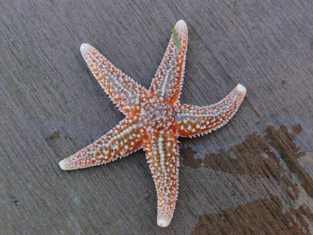 Les étoiles De Mer Trouvées En Bretagne Sud Bienvenue Dans