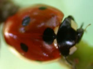 photo of Seven-spotted ladybug
