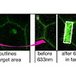 King's College London -  Manipulating subcellular protein localization in vivo using light