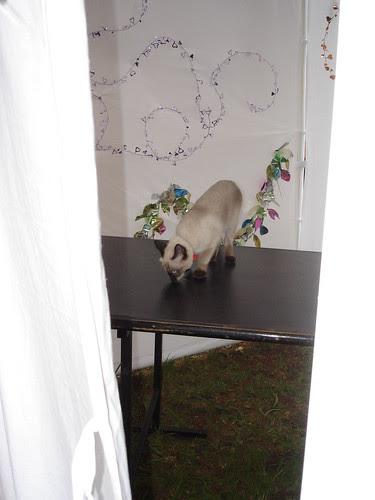 Catschka the sukkah cat
