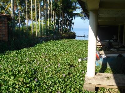 water hyacinth (water lilies)