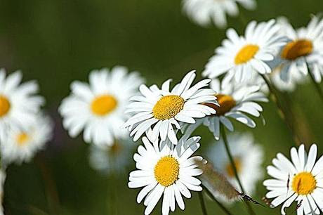 Why Chamomile is Called the Nemesis of Sensitive Skin