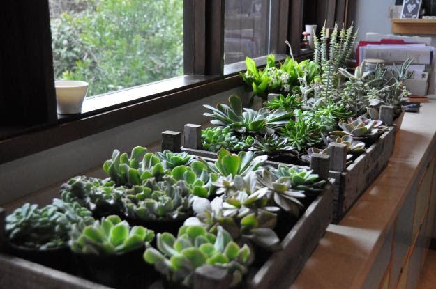 succulents in trays
