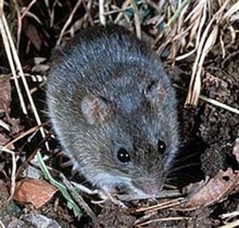 Marsh rice rat   Wikipedia