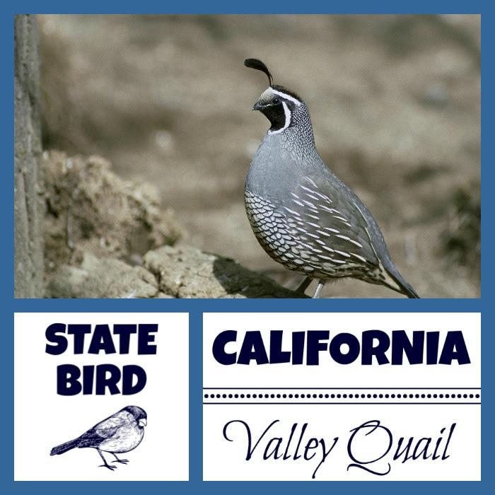 California Valley Quail