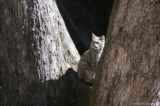 Photo: Bobcat ponders things from matching trees | Authentic Yosemite