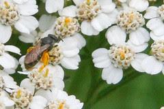 tiny bee on achillia