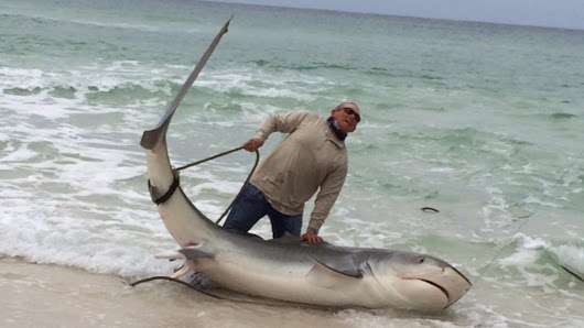 Great white among the whoppers caught on Gulf Coast beaches