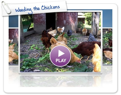 Click to play this Smilebox slideshow: Weeding the Chickens