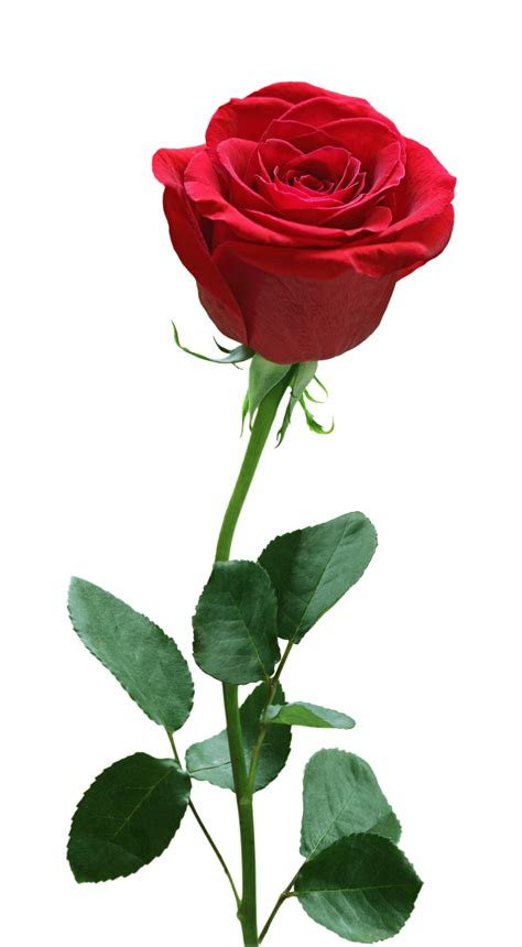 rose flower png image   searchpngcom