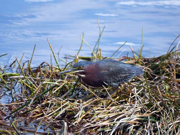 Ed Gaillard: birds &emdash; Green Heron, Green Cay