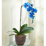 Flower Delivery by 1-800 Flowers Beautiful Blue Phalenopsis Orchid Single Stems Plant