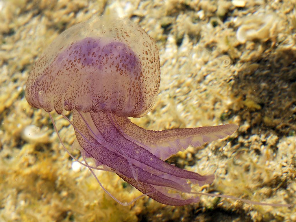 Pelagia noctiluca (Sardinia)