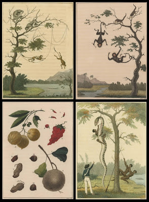 monkeys, snakes and fruit in Surinam 1792