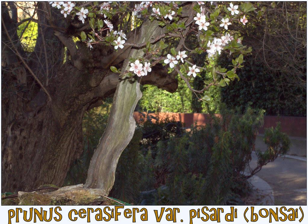 El bonsai con sus flores