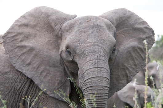 President Trump saves the elephants of Zimbabwe: Big game hunting trophy ban to remain in place