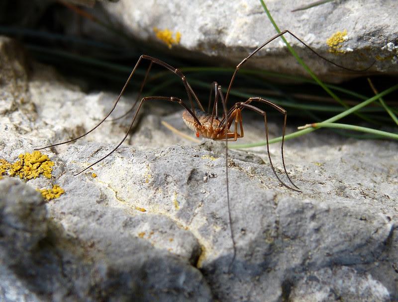 28894 - Harvestman Spider, Mewslade