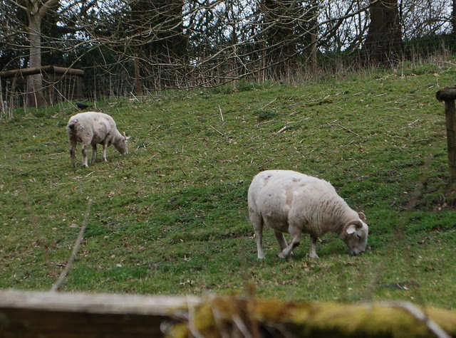 A herd of Wiltshire Horn (also know as Wiltshire Horned) sheep grazing and shedding wool
