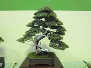 Needle Juniper BOnsai
