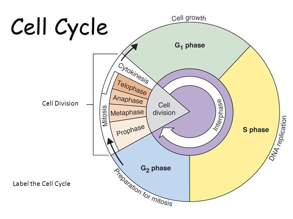 Cell+Cycle+Cell+Division+Label+the+Cell+Cycle