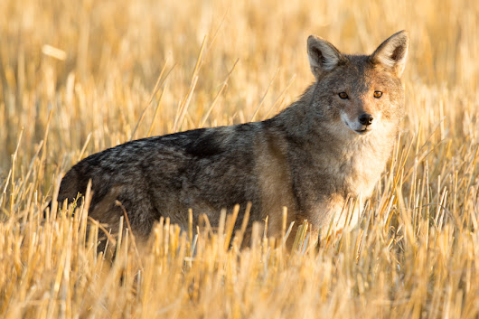 Rediscovering the African wolf - BMC Series blog