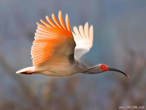 Một hình ảnh của loài cò mỏ quằm châu Á đang bay vút trên bầu trời Trung Quốc