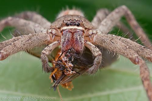 IMG_7273 copy huntsman spider with winged termite prey