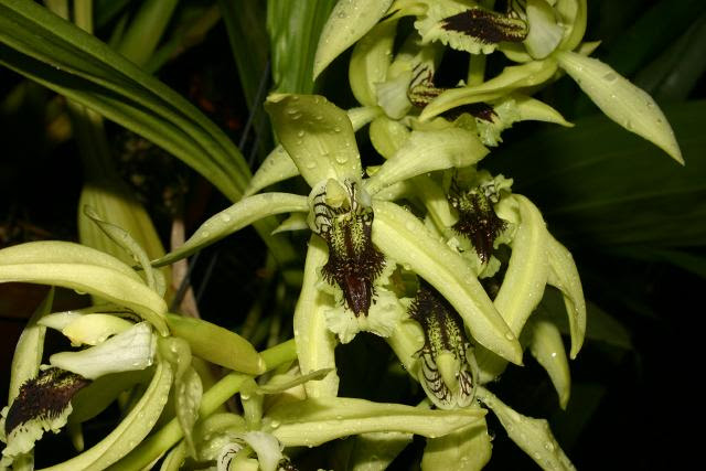 http://www.orchidspecies.com/orphotdir/coelogypandurata.jpg
