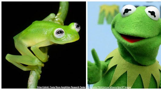 Newly discovered Costa Rican glass frog species is a Kermit look-alike