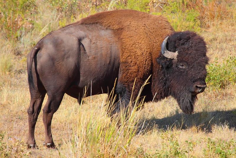 IMG_2558 Bison, National Bison Range