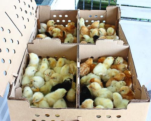 Chick Day!!