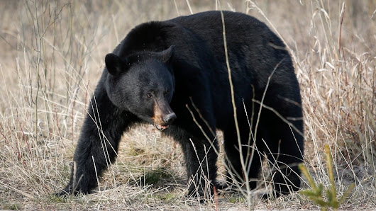 Acupuncturist caught in bear parts trafficking sting