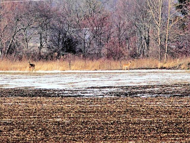 Deer look back at Coyote 20130225