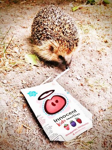 hedgehog innocent