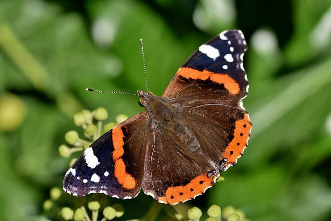 Red Admiral Butterfly Images | Vanessa Atalanta Butterfly