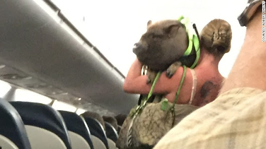 Airline: 'Emotional support' pig kicked off flight for being disruptive