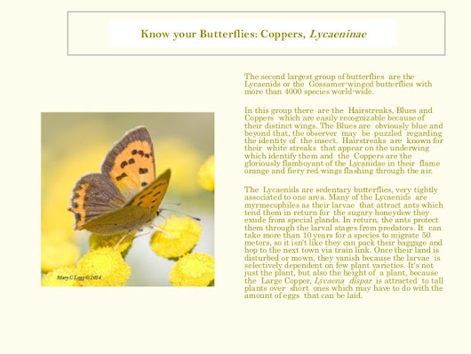 Know Your Butterflies: Coppers, Lycaeninae