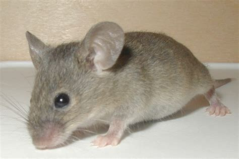File:Mouse 19 Dec 2004   Wikimedia Commons