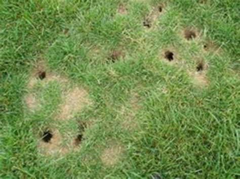 Vole Holes   How To Get Rid Of Voles In Your Yard How To Get Rid Of Voles