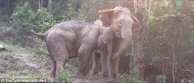 It would appear to be true that an elephant never forgets, based on a touching video showing an Asian elephant returning to her mother after years apart (pictured)