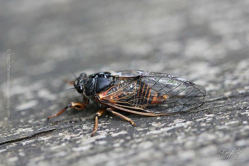 Cicadetta montana