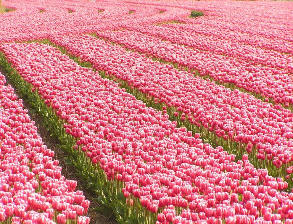 Υπερδοσολογία σε ροζ τουλίπες σε Νότια Ολλανδία