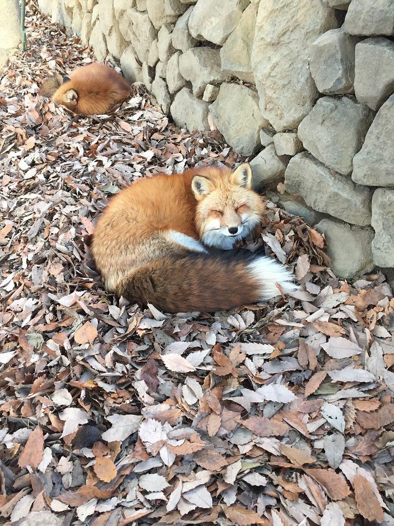 photo Miyagi Zao Fox Village 6.jpg