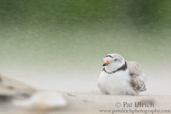 Photo of a piping plover protecting its chick from the blowing sand in Massachusetts