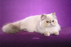 Blue torbie point Persian cat