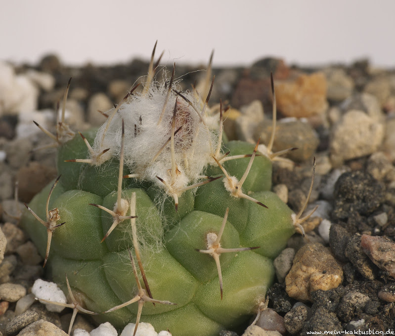 Turbinicarpus lophophoroides, Las Tablas, S.L.P.