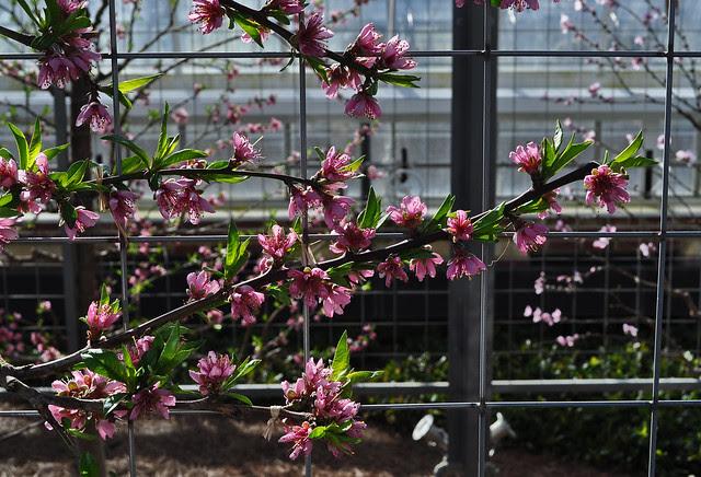 Estate Fruit House (Espaliered Nectarines) (2)