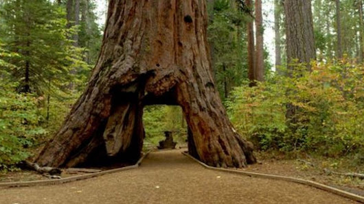 Pioneer Cabin Tree in California felled by storms - BBC News
