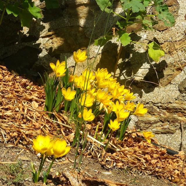je ne sais pas quels sont ces crocus fleuris à cette saison, mais c'était magnifique