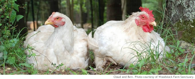 Chickens Raised For Meat Food Empowerment Project